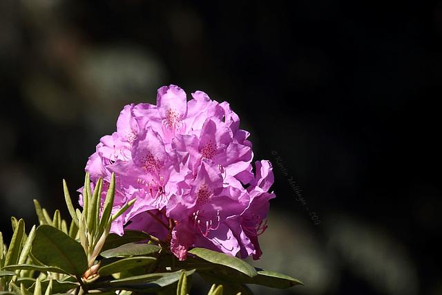 Blühender Rhododendron (Wilhelma)
