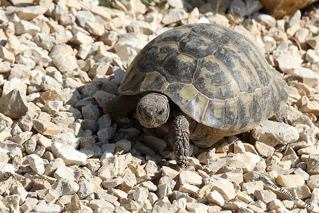 Griechische Landschildkröte (Wilhelma)