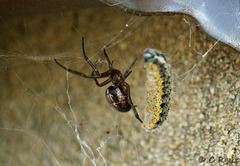 Patio Life: Common False Widow Steatoda nobilis