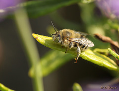 Patio Life: Anthophora bimaculata