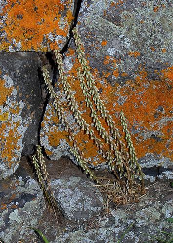 Umbilicus rupestris -001