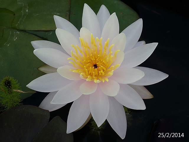 Nymphaea species (Waterlily)