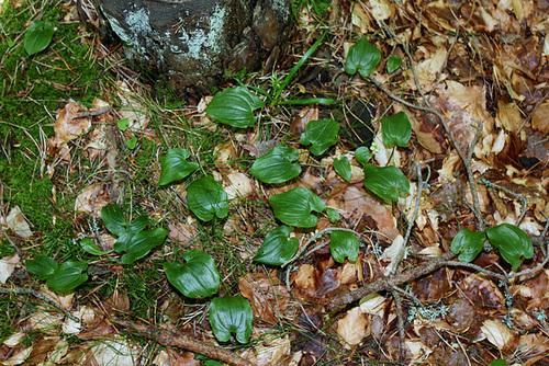 Maïanthemum bifolium