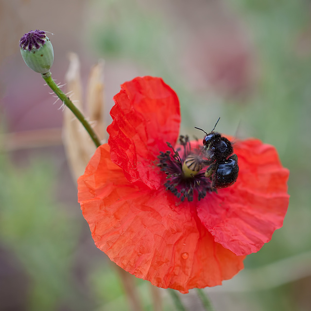 """EEK!!!"" says the Poppy Head,  ""It's a BLACK BEE!!"""