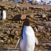 Visiting Adelie penguins