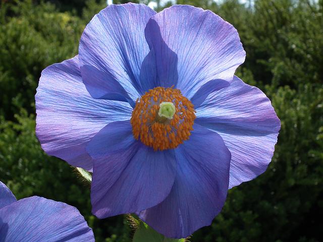 Himalayan blue poppy.