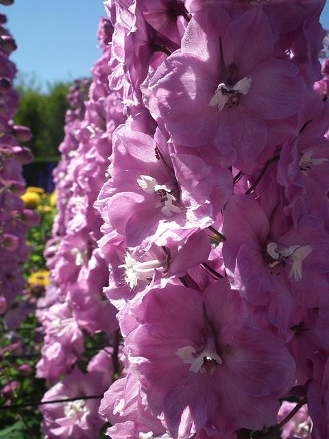Nice pink delphinium