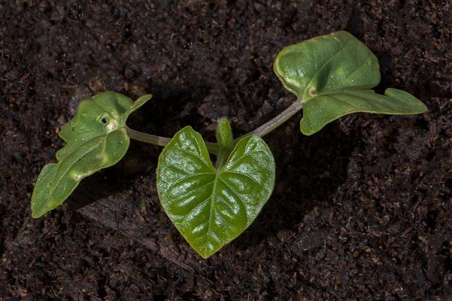 seedlingwildflower-morning-glory
