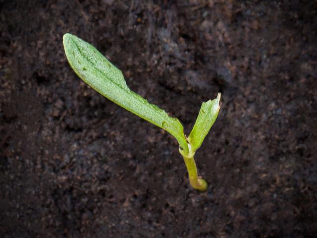 seedlingcosmosdamage