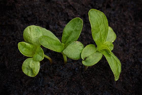 seedlingzinniapartiers
