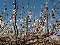 Prunus mume_Japanese apricot