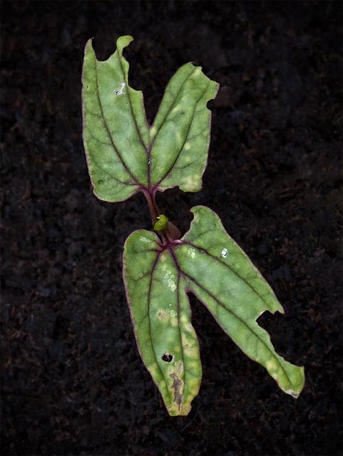 seedlingmorningglorydamage
