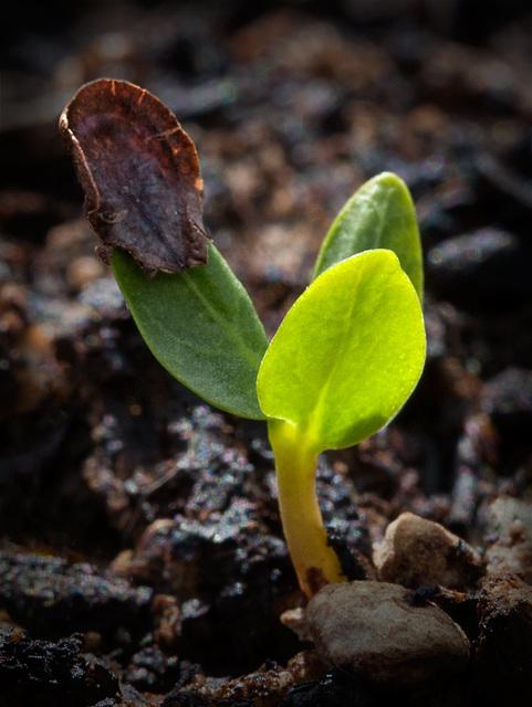 seedlingmilkweed