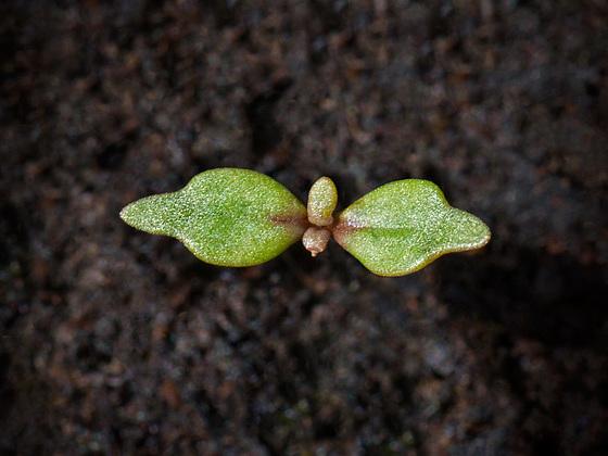 seedlingsnapdragon