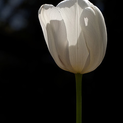 T is for Translucent Tulip (+1 inset)