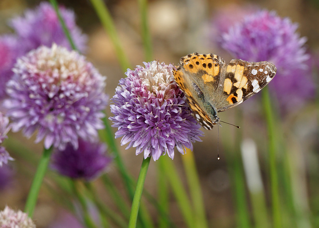 The first (Painted Lady) of June!