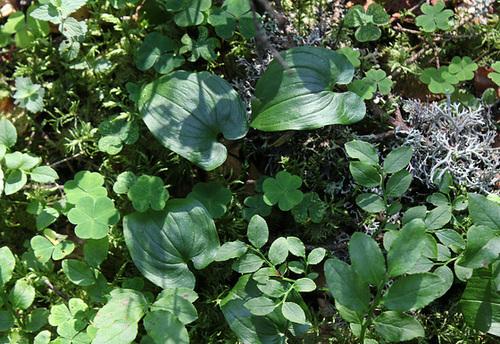 Maianthemum et Myrtilles