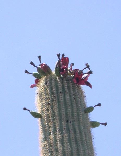 Saguaro National Park3120a