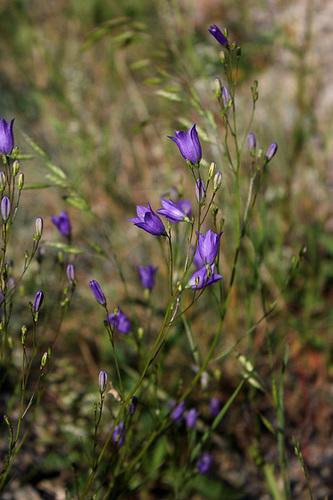 Campanula rotundifolia-001