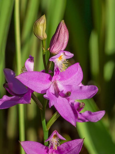 Calopogon tuberosus (Common Grass-pink orchid)