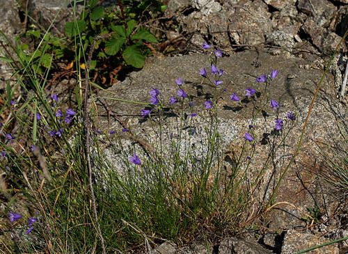 Campanula rotundifolia-004