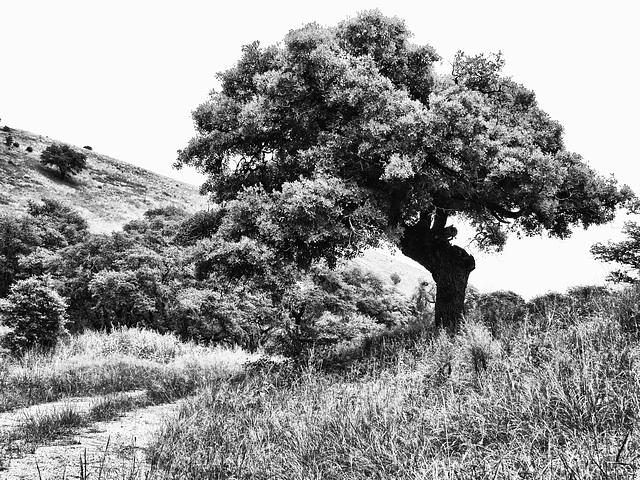 Foothills Oak
