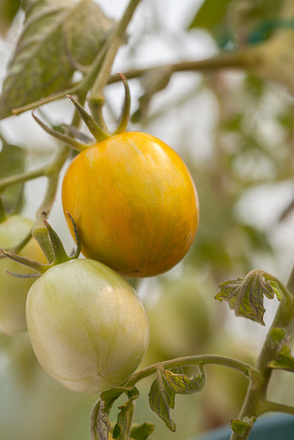 Green Zebra Tomatoes on the Plant