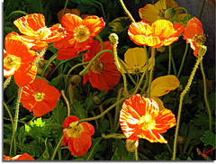 A Tangle of Poppys