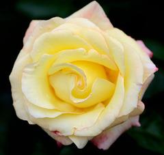 Macro sur une belle rose jaune...