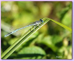 Agrion bleu