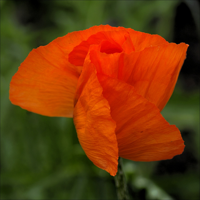 Poppy 02