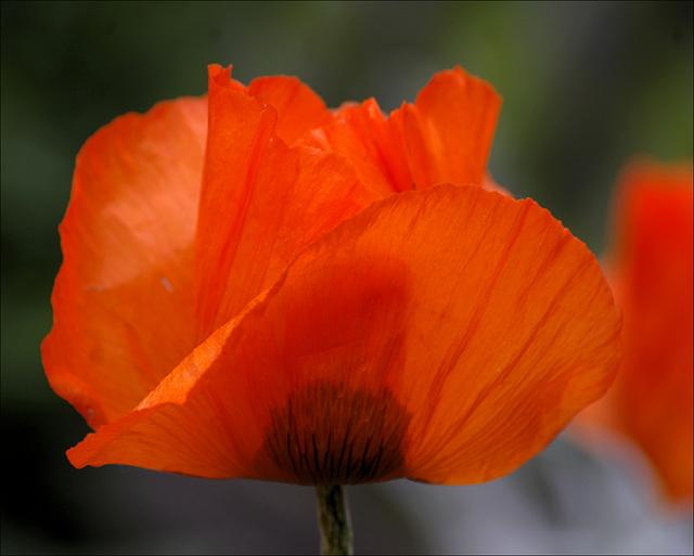 Poppy 08