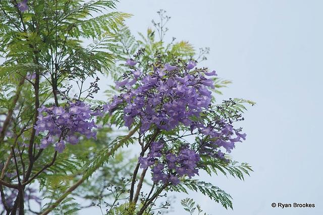 20090311-0826 Jacaranda mimosifolia D.Don