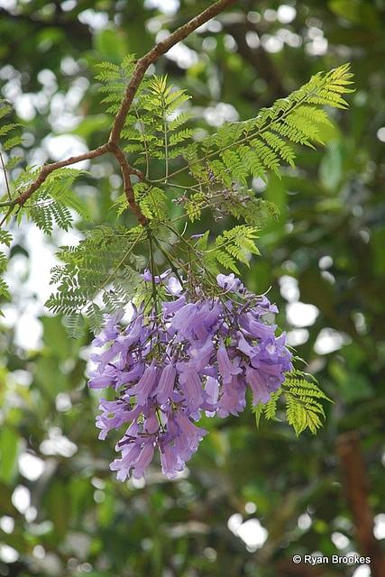 20090311-0828 Jacaranda mimosifolia D.Don