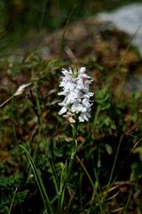 Dactylorhiza fuchsii var. o'kellyi