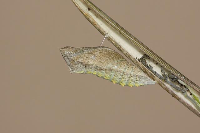 European Swallowtail (Papilio machaon gorganus) pupa