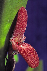 Restrepiella ophiocephala