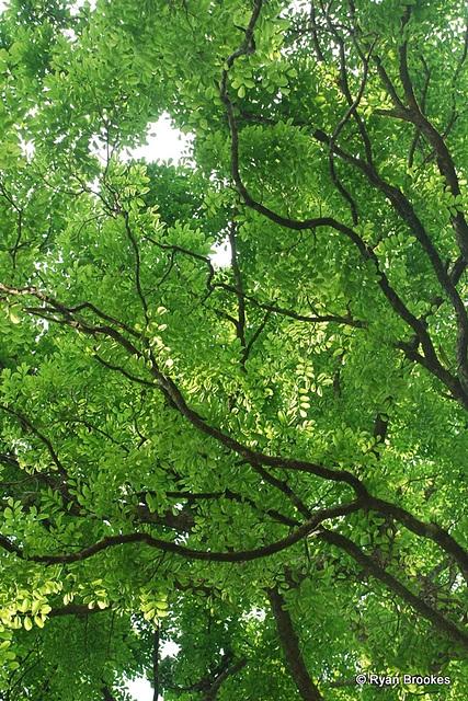 20090311-0923 Dalbergia latifolia Roxb.
