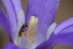 Tiny Sweat Bee on Harvest Brodiaea