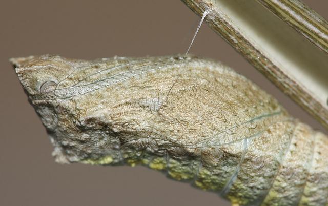 European Swallowtail (Papilio machaon gorganus) pupa wing case detail