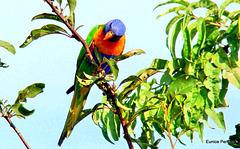 Rainbow Parakeet in the plum tree