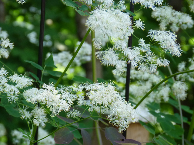 Our perennial garden Meadow Rue