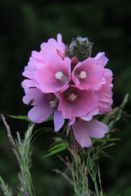 Henderson's Checker Mallow