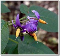 Fourmi rousse sur Solanum dulcamara.