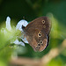 20130709 2424RAw Brauner Waldvogel