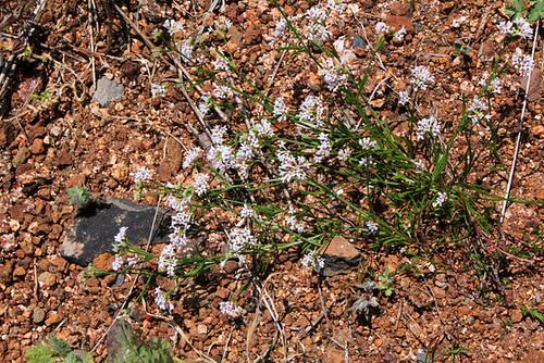 Asperula cynanchica-Herbe à l'Esquinancie (3)