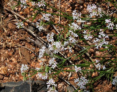 Asperula cynanchica-Herbe à l'Esquinancie (4)