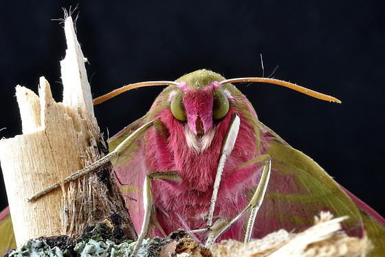 Mittlerer Weinschwärmer (Deilephila elpenor) 7