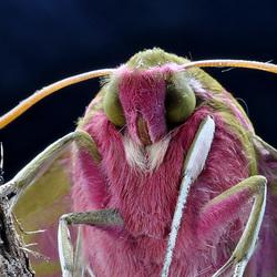 Mittlerer Weinschwärmer (Deilephila elpenor) 8