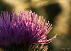 Patio Life: Wooly Thistle